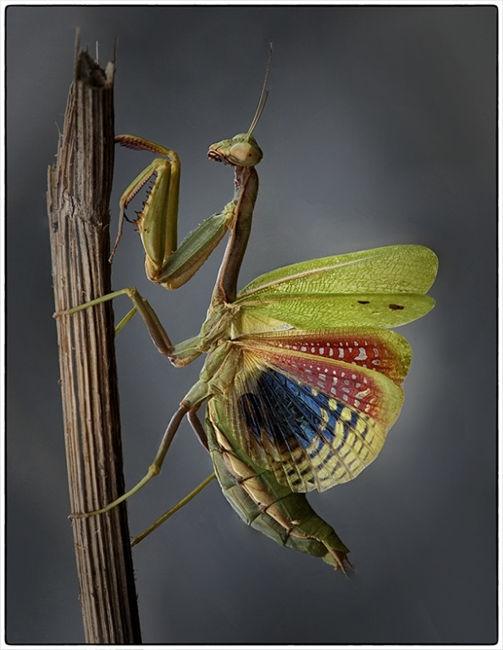 Mantis Alada