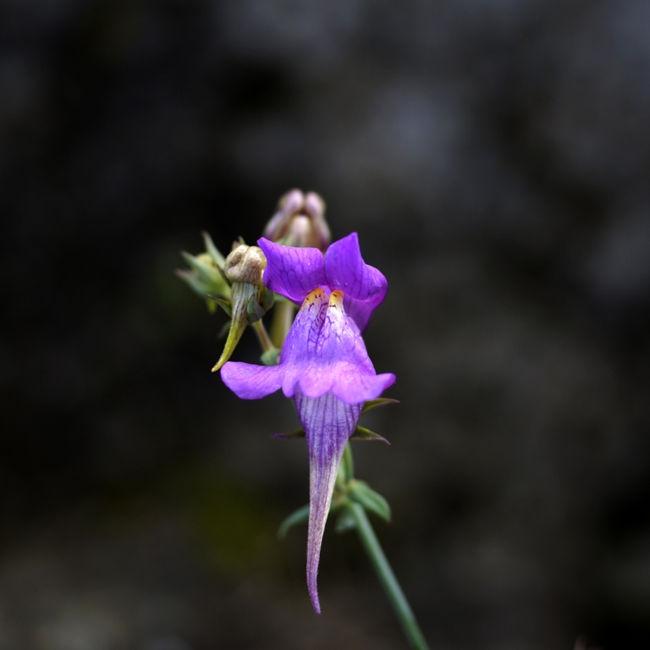 Linaria Alpinalinaria alpina