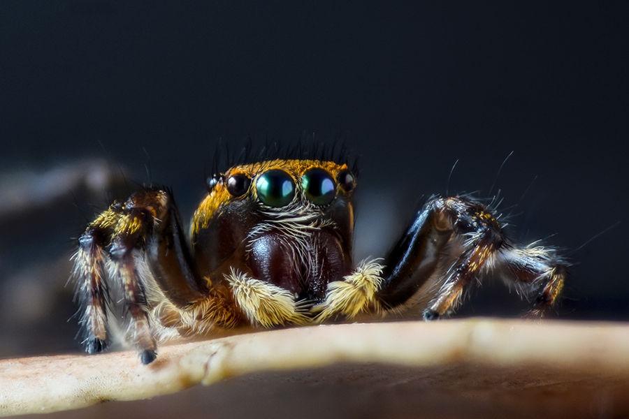 Jumping spiderJumping spider