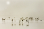 Flamants roses dans la brume