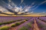 Puesta de sol en los campos de Lavanda