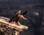 Buitre abriendo las alas