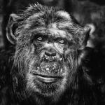 chimpanze triste