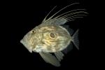 Zeus Faber - peix de St. Pere
