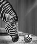 Zebra juganera