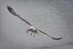gavià argentat