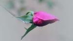 Rosa d´hivern