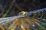 Aranya vespa