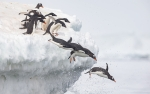 Penguins flying