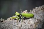 Pregadeu (Mantis religiosa)