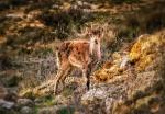 Famella de cabra hispànica del baix aragó