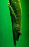 Gecko diurnGecko diurn