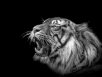 El badall del tigre. Zoo de Barcelona.