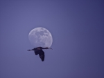 Ibis lunaire