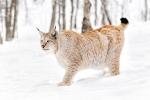 Linx boreal