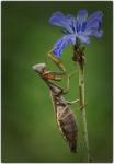 Mantis i flor