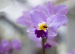 Orquídia rosa